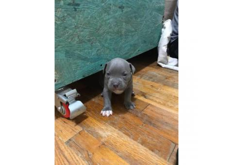 6 american bully puppies available
