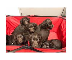UKC Registered Boykin Spaniel Puppies