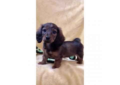 Rehoming beautiful long-haired purebred Dachshund puppies