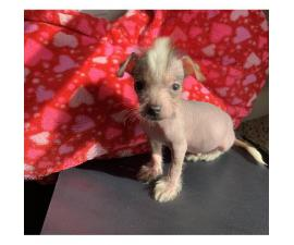 Gorgeous hypoallergenic male Chinese crested puppy
