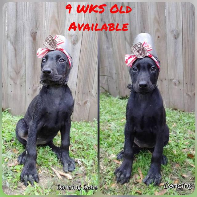 Pet Homes Limited AKC Doberman Puppies in Houston , Texas