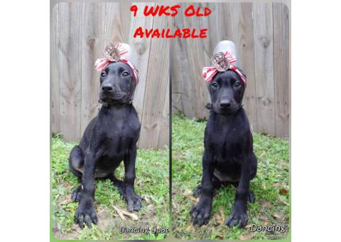 Pet Homes Limited AKC Doberman Puppies