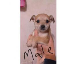 4 Chiweenies in need of a safe, loving home