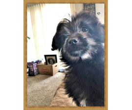 3 Month Old Aussiedoodle Australian Sheep Dog And Poodle