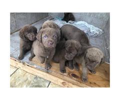 AKC Chesapeake Bay Retriever puppies