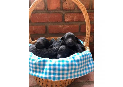 6 standard poodle puppies