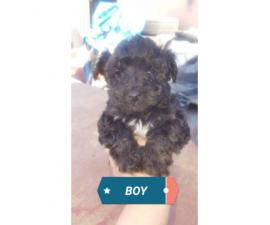 We have 2 yorkie poo puppies left, 2 males