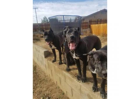 A litter of import blood Cane Corso puppies