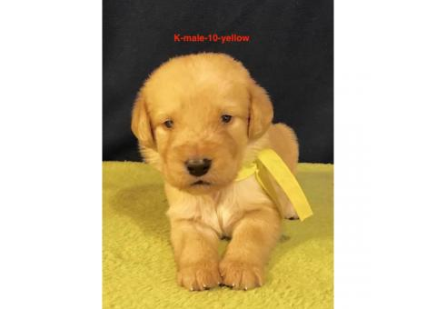 Beautiful F1 Labradoodle puppies with full CKC registration rights
