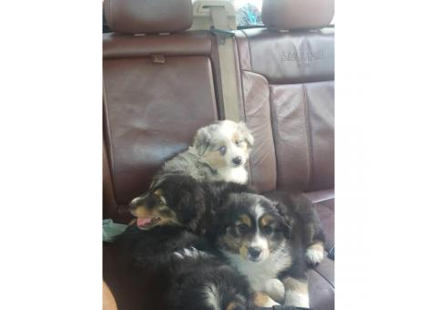 3 females left Mini Aussies puppies