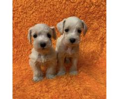 Attractive White Schanuzer $500 Each Puppy