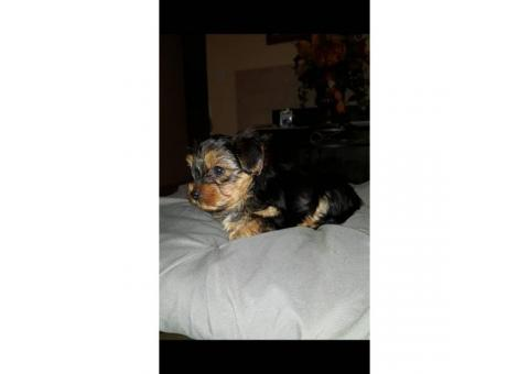 One beautiful male pure bred yorkie puppy