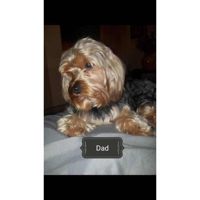 One beautiful male pure bred yorkie puppy in Norwich ...