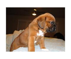 Purebred cinnamon color boxer puppy