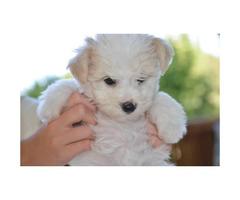 2 months old Maltese mix puppy