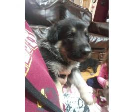 2 german shepherd puppies for sale