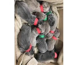 6 male AKC Weimaraners are looking their forever home