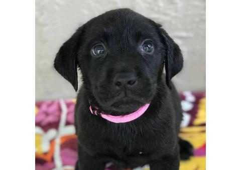 AKC lab puppies with eight week shots