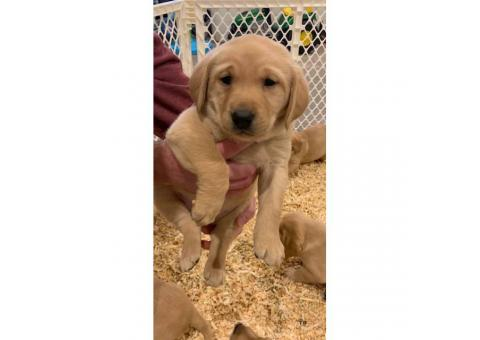 AKC Yellow Lab Puppies to their forever homes March 23rd