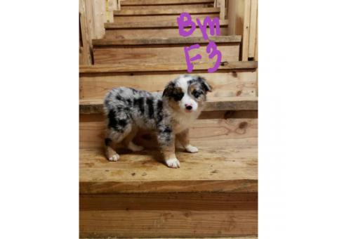 Blue merle and black tri mini aussie puppies for sale