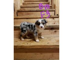 Blue merle and black tri mini aussie puppies for sale