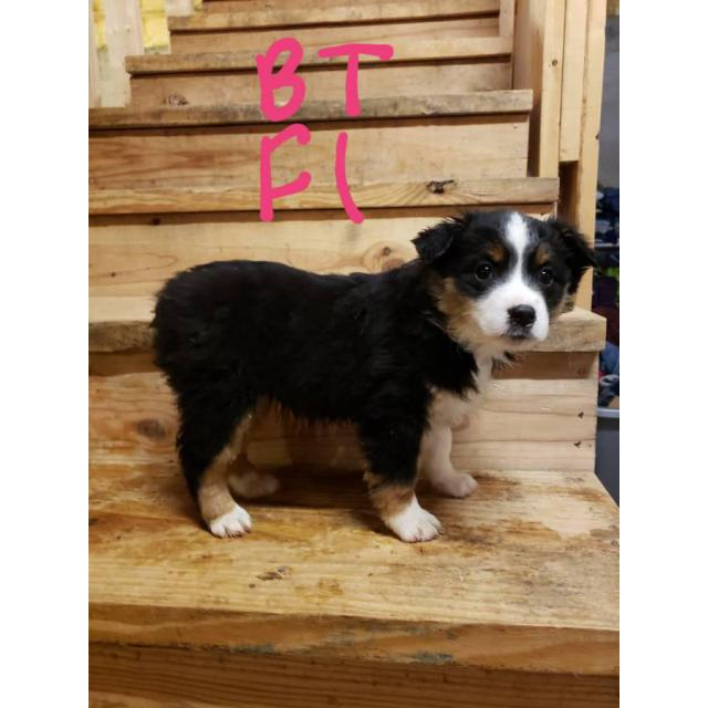 Blue Merle And Black Tri Mini Aussie Puppies For Sale In Ava Missouri Puppies For Sale Near Me