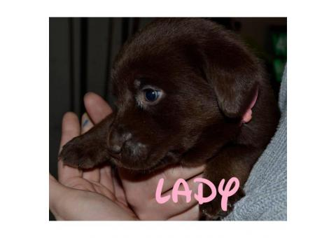 Chocolate lab puppies AKC Registered with papers at hand