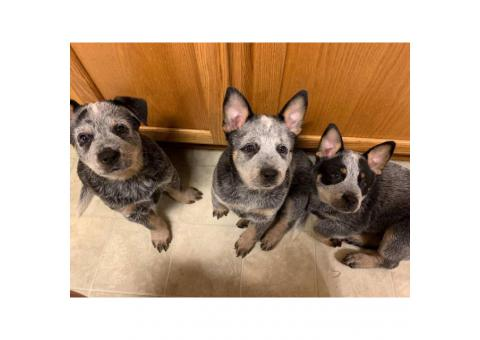 3 Blue Heelers puppies available