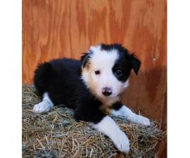 Border collies - Only 4 left