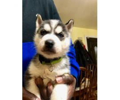 Stunning Blue eyes AKC Husky Puppies
