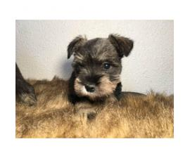 3 female mini Schnauzer pups ready for their new homes