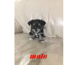 3 male & 1 female morkie puppies