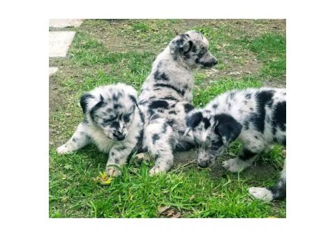 Aussie German shepherd mix Only 4 puppies available