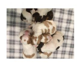AKC registered Brittany puppies available for sale