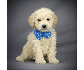 2 female and 2 male mini f1b goldendoodles