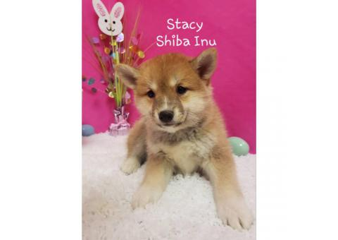 4 Shiba Inu Puppies for sale