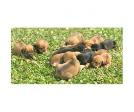 Bloodhound Puppies with NKC Reg