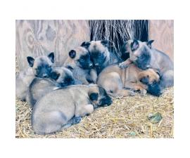 4 boys and 4 girls Belgian Malinois Puppies