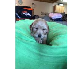 2 male AKC Golden Retrievers available