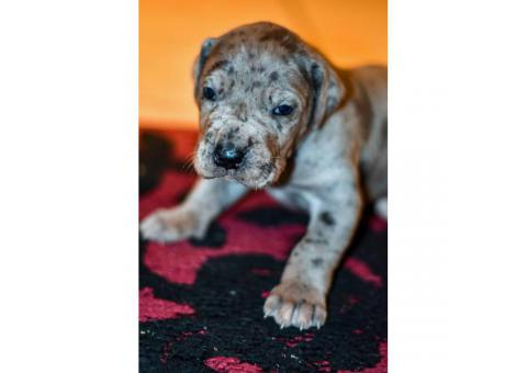 2 more Dane puppies left registered through AKC