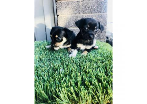 7 weeks old Black and Tan Jack Russell Terrier  puppies