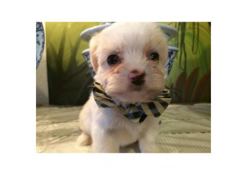 8 weeks old maltipoo male puppies ready for a new home