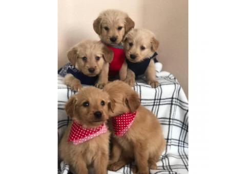 A litter of gorgeous pure bred Golden retriever puppies