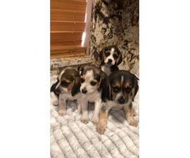 Beagle Puppy For Sale By Owner Page 3 Puppies For Sale Near Me