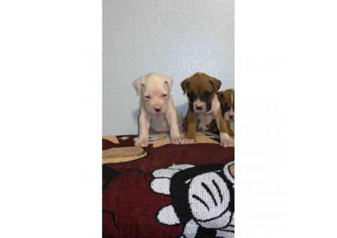 1 females & 2 males left Beautiful boxer pups