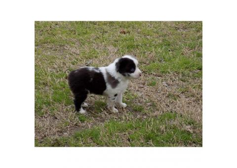 Male Toy Aussie Puppy $650