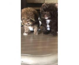 Maltipoo puppies ready for rehoming $800