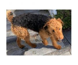 15 months old Airedale terrier puppy