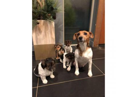 4 little jack Russells for sale
