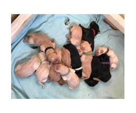 13 Labradoodle puppies available